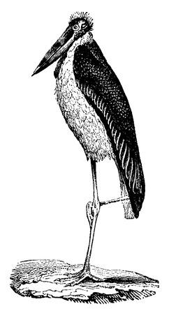 wader: Stork Bag, vintage engraved illustration. Natural History of Animals, 1880.