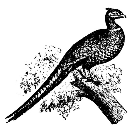 in common: Common pheasant, vintage engraved illustration. Natural History of Animals, 1880.