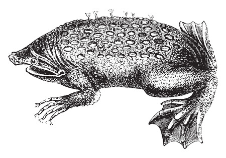 herpetology: Toad-Pipa, vintage engraved illustration. Natural History of Animals, 1880. Illustration