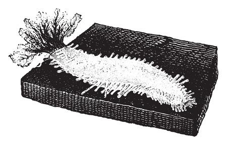 echinoderm: Sea cucumber., vintage engraved illustration. Natural History of Animals, 1880.