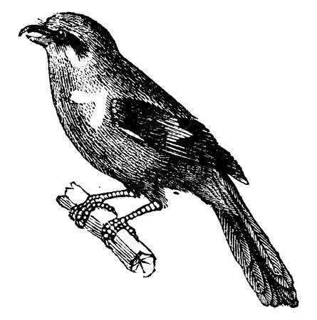oiseau dessin: Pie-grièche, millésime gravé illustration. Histoire naturelle des animaux, 1880.