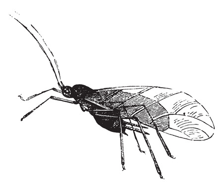 larvae: Aphid and its larvae, vintage engraved illustration. Natural History of Animals, 1880.