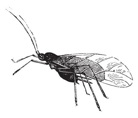 insecto: Áfidos y sus larvas, ilustración de la vendimia grabado. Historia Natural de los Animales, 1880.
