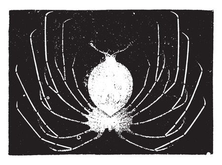 lobster: Lobster larvae, vintage engraved illustration. Natural History of Animals, 1880.