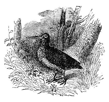 wader: Woodcock, vintage engraved illustration. Natural History of Animals, 1880.