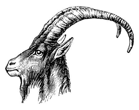 cabras: Cabeza Ibex, ilustración de la vendimia grabado. Historia Natural de los Animales, 1880.