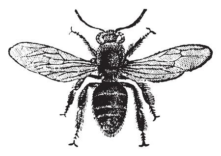 abejas: Abeja de trabajador, ilustraci�n de la vendimia grabado. Historia Natural de los Animales, 1880.