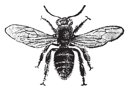 honeybee: Worker bee, vintage engraved illustration. Natural History of Animals, 1880.