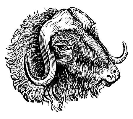 musk: Muskox, vintage engraved illustration. Natural History of Animals, 1880.