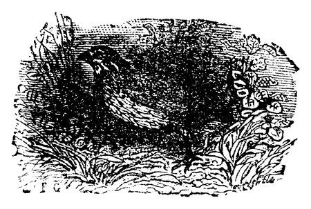 Quail, vintage engraved illustration. Natural History of Animals, 1880. Ilustração