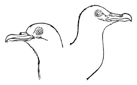 mew: Fig no. 229 Petrel, Fig no. 230 Gull, vintage engraved illustration. Natural History of Animals, 1880.