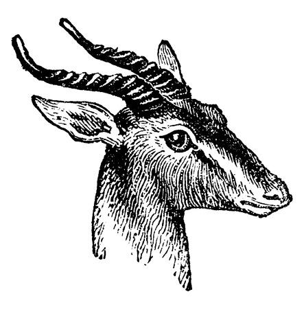 martinet: Gazelle, mill�sime grav� illustration. Histoire naturelle des animaux, 1880.