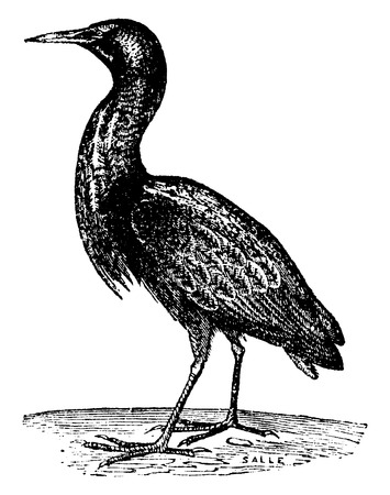 eurasian: Eurasian bittern or Great bittern, vintage engraved illustration. Natural History of Animals, 1880.