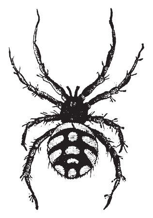 Theridion malmignatte, vintage engraved illustration. Natural History of Animals, 1880. Vectores