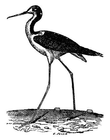 stilt: Stilt, vintage engraved illustration. Natural History of Animals, 1880.
