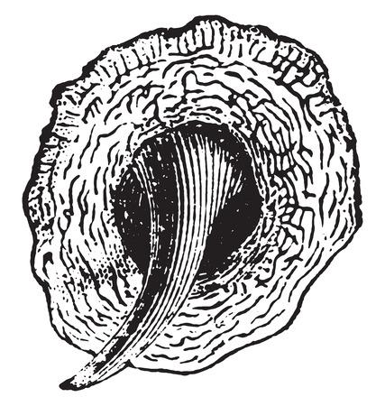 escamas de peces: Escalas de pescados, ilustraci�n de la vendimia grabado. Historia Natural de los Animales, 1880.