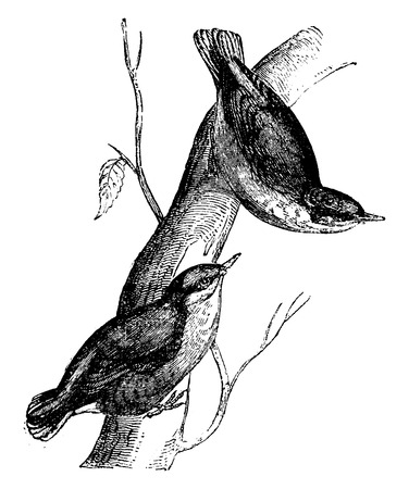 passerine: Nuthatch, vintage engraved illustration. Natural History of Animals, 1880.