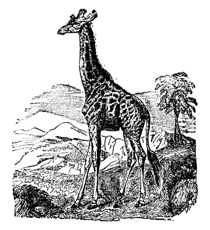 giraffa: Jirafa, ilustraci�n de la vendimia grabado. Historia Natural de los Animales, 1880.