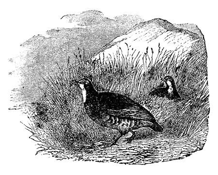 pheasant: Partridges, vintage engraved illustration. Natural History of Animals, 1880. Illustration