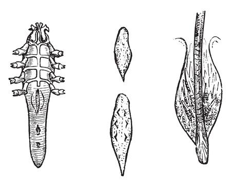 Demodex grown, vintage engraved illustration. Natural History of Animals, 1880. Ilustração
