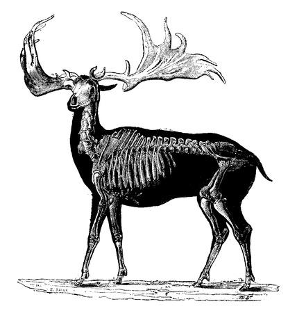 Megaloceros of Megaceros, vintage gegraveerde illustratie. Natuurlijke geschiedenis van dieren, 1880.