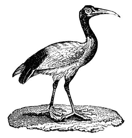 wader: Ibis, vintage engraved illustration. Natural History of Animals, 1880.