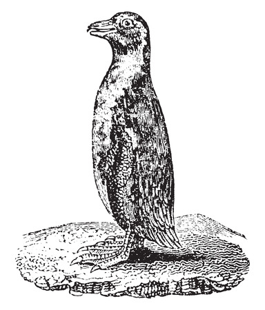seabird: Penguin, vintage engraved illustration. Natural History of Animals, 1880.