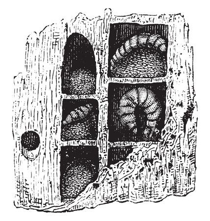 Carpenter-bee nest, vintage engraved illustration. Natural History of Animals, 1880.