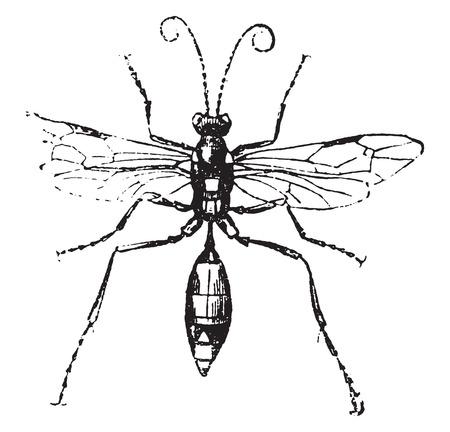 apocrita: Ichneumon, vintage engraved illustration. Natural History of Animals, 1880.