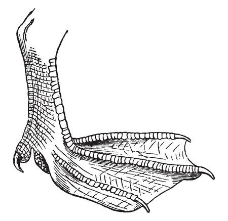 webbed: Webbed foot, vintage engraved illustration. Natural History of Animals, 1880.