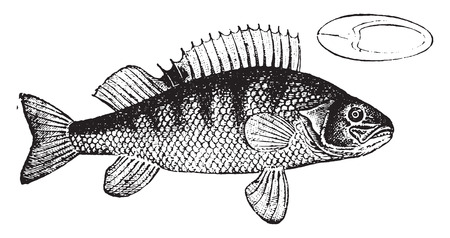 perch: Perch, vintage engraved illustration. Natural History of Animals, 1880.