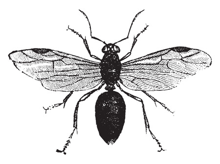 Winged ant, vintage engraved illustration. Natural History of Animals, 1880.