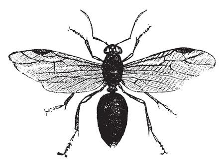 entomology: Winged ant, vintage engraved illustration. Natural History of Animals, 1880.