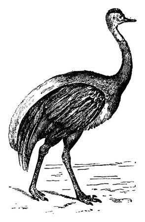 american history: American Ostrich, vintage engraved illustration. Natural History of Animals, 1880.