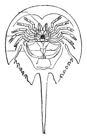 crustacea: Horseshoe crab, vintage engraved illustration. Natural History of Animals, 1880.