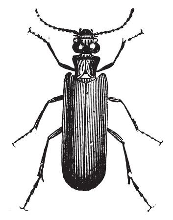 Cantharide vesicant (bigger), vintage engraved illustration. Natural History of Animals, 1880.