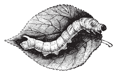 silkworm: Caterpillar Bombyx mulberry, vintage engraved illustration. Natural History of Animals, 1880. Illustration