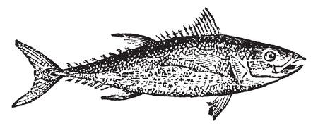 Tuna, vintage engraved illustration. Natural History of Animals, 1880.