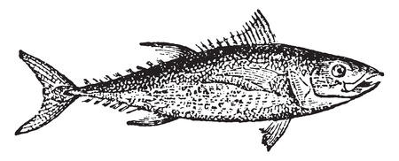 mackerel: Tuna, vintage engraved illustration. Natural History of Animals, 1880.