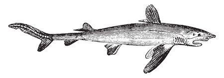 swims: Shark, vintage engraved illustration. Natural History of Animals, 1880.