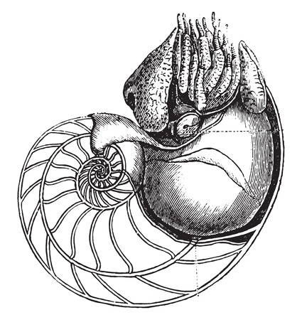 Nautilus, vintage engraved illustration. Natural History of Animals, 1880. Çizim