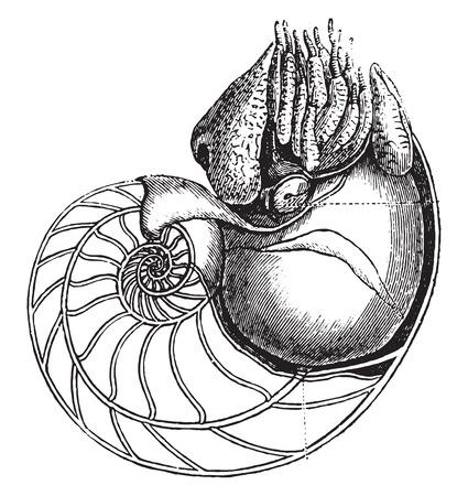 cephalopod: Nautilus, vintage engraved illustration. Natural History of Animals, 1880. Illustration
