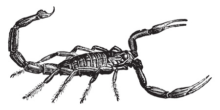 arachnida: Scorpion, vintage engraved illustration. Natural History of Animals, 1880. Illustration