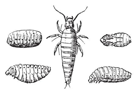 larvae: Insect larvae and nymphs vesicant, vintage engraved illustration. Natural History of Animals, 1880. Illustration