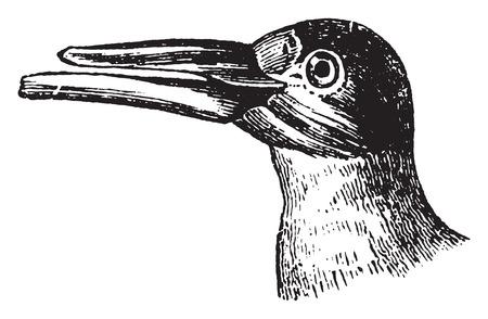 skimmer: Skimmer, vintage engraved illustration. Natural History of Animals, 1880.