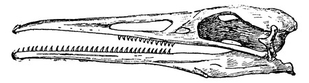 flightless: Hesperornis skull, vintage engraved illustration. Natural History of Animals, 1880. Illustration