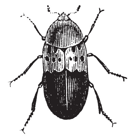 Larder beetle, vintage engraved illustration. Natural History of Animals, 1880.