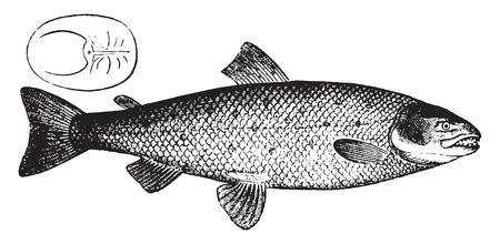 salmons: Salmon, vintage engraved illustration. Natural History of Animals, 1880.