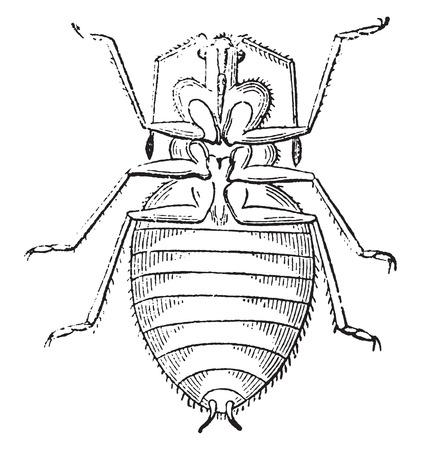 Shield Bug, vintage engraved illustration. Natural History of Animals, 1880.