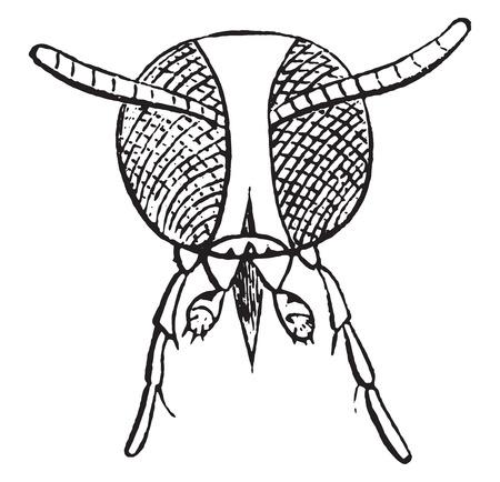 Anthrax flies, vintage engraved illustration. Natural History of Animals, 1880.